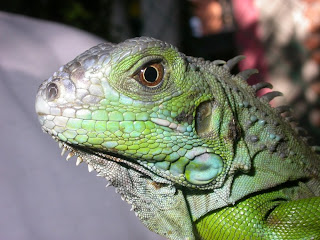 iguanas en cautiverio: