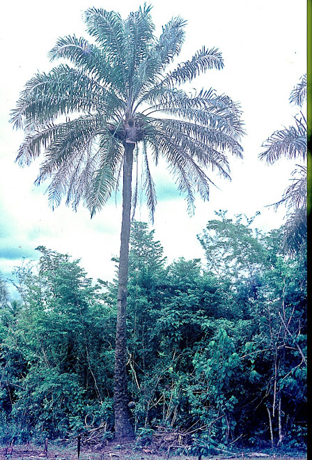 Pa Sam - tapping palm tree for palm wine near Vaama