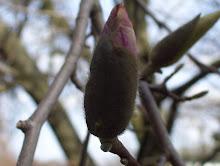 Magnolia Bud