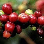 Fruto do Café - Brasil