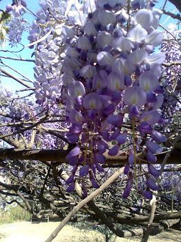 """Wisteria sinensis """"glicina"""" (ornamental)"""