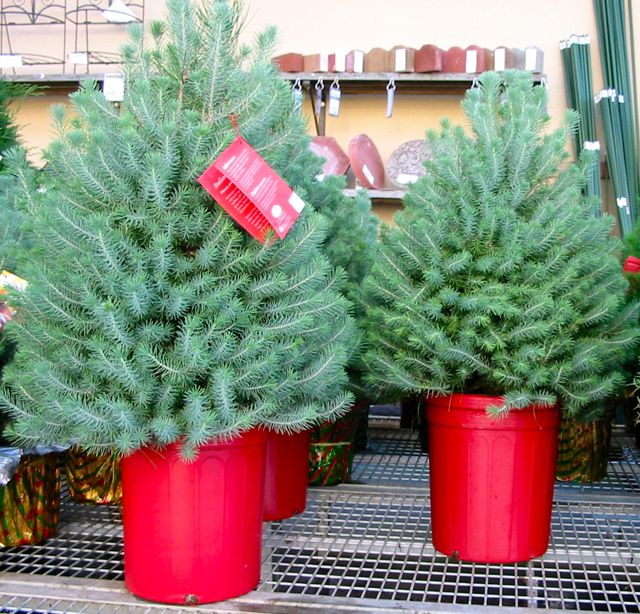 tis the season for living christmas trees - Living Christmas Tree