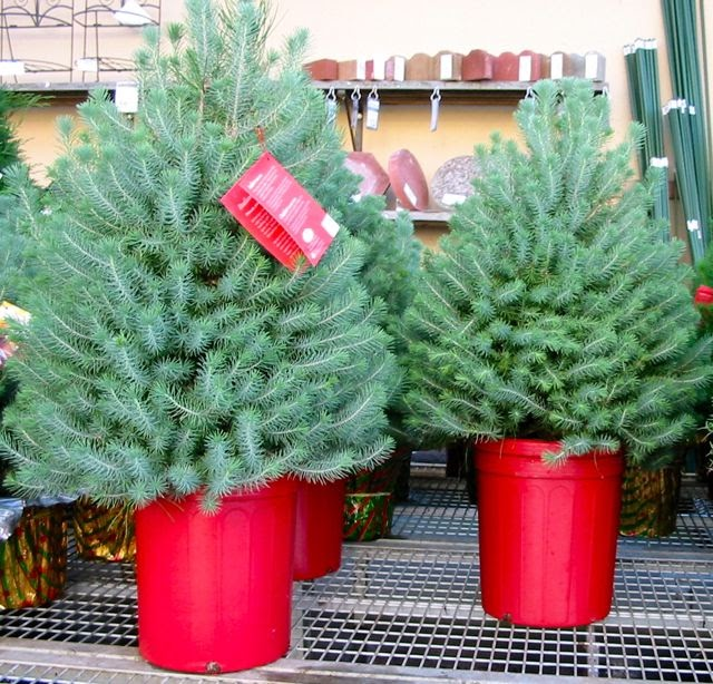 Living Potted Christmas Trees