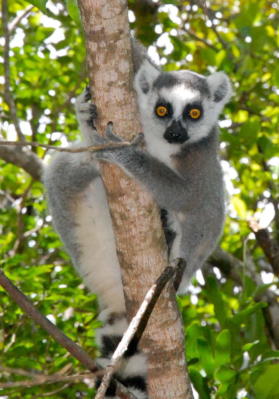 Lemur  Simple English Wikipedia the free encyclopedia