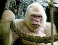 Gorille Albinos au zoo