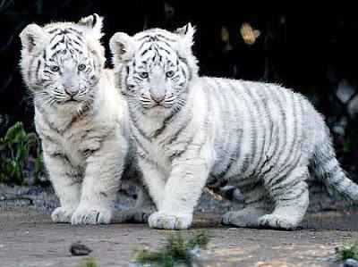 Deux Bébé du tigre blanc ou tigre royal