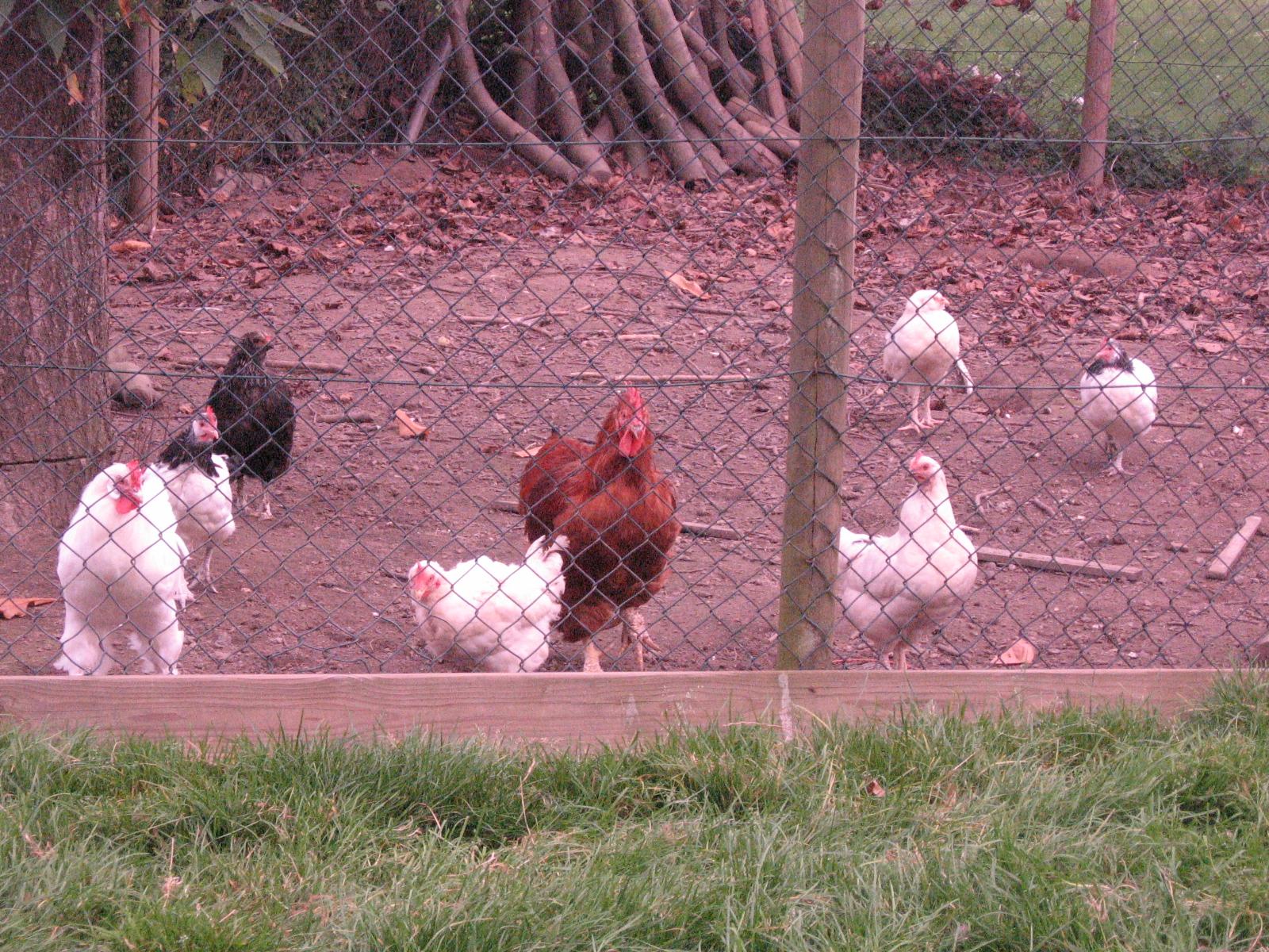 Gulpdal vakantiewoningen nieuw hok voor de kippen en de geiten - Een hok ...