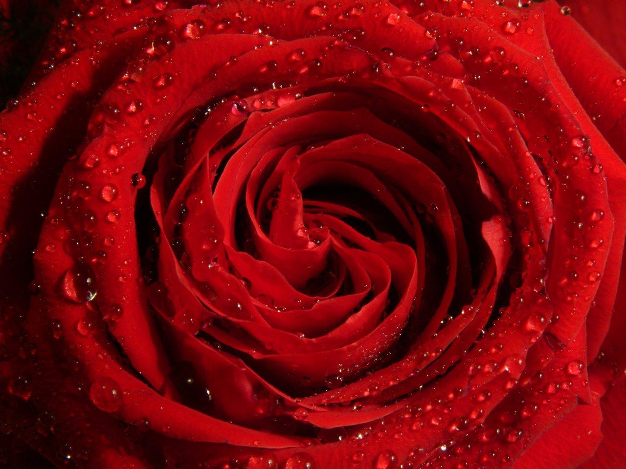 modele tatouage rose rouge - Tatouage Rose Banque D'Images Et Photos Libres De Droits