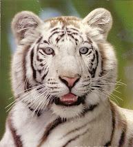 CARLOS Tigre  sin Tiempo