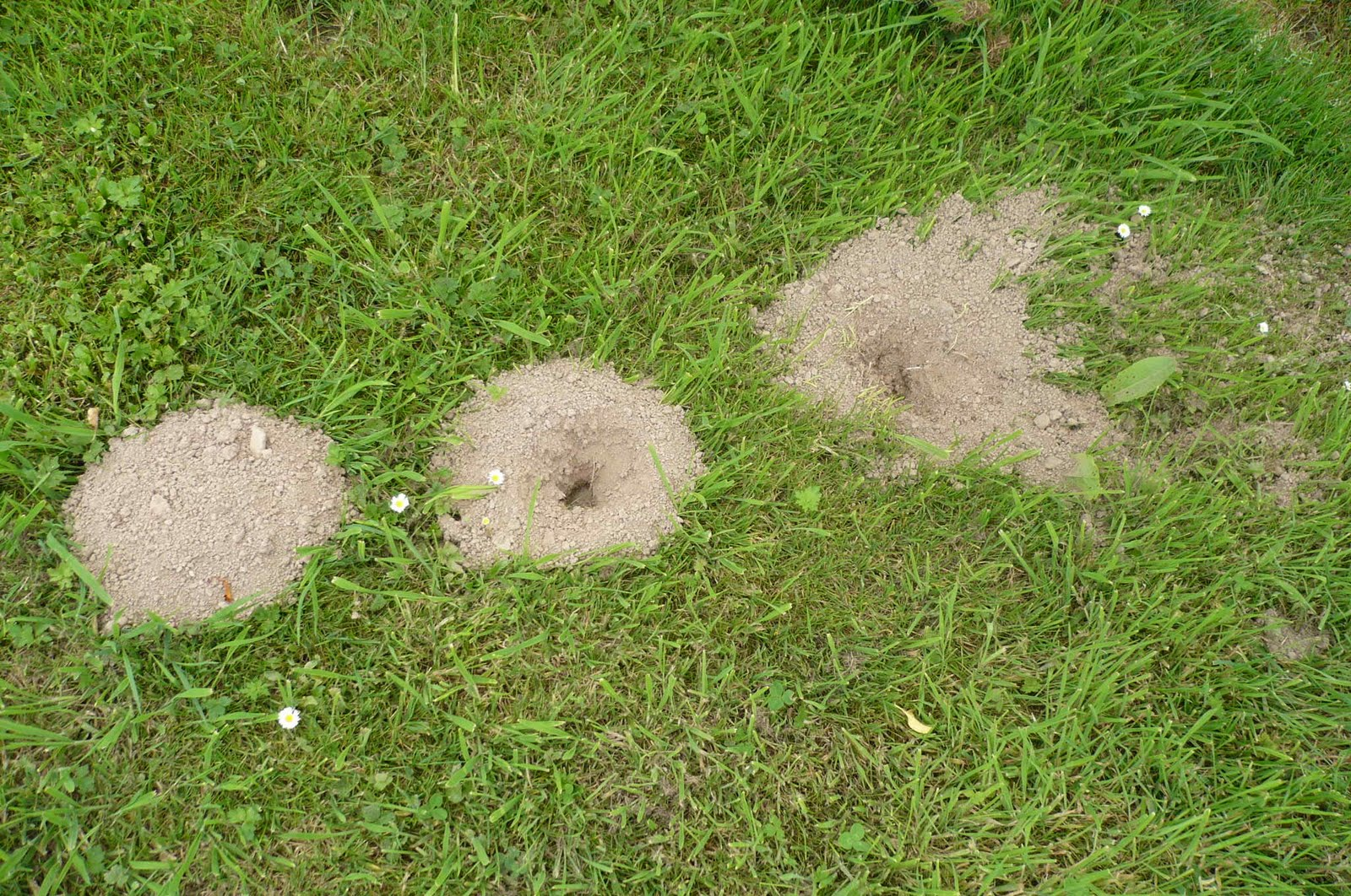Yard moles and vinegar and castor oil - Mole Tunnels In Lawn Moles The Lawns Are Covered