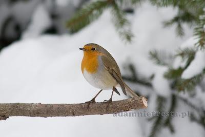 zdjęcia ptaków - rudzik