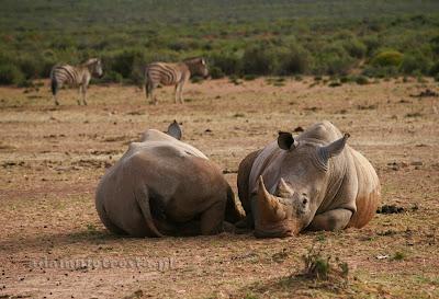 zdjęcia przyrody - nosorożec