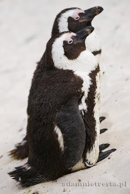 zdjęcia przyrodnicze - pingwin