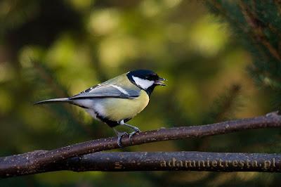 zdjęcia ptaków sikorka