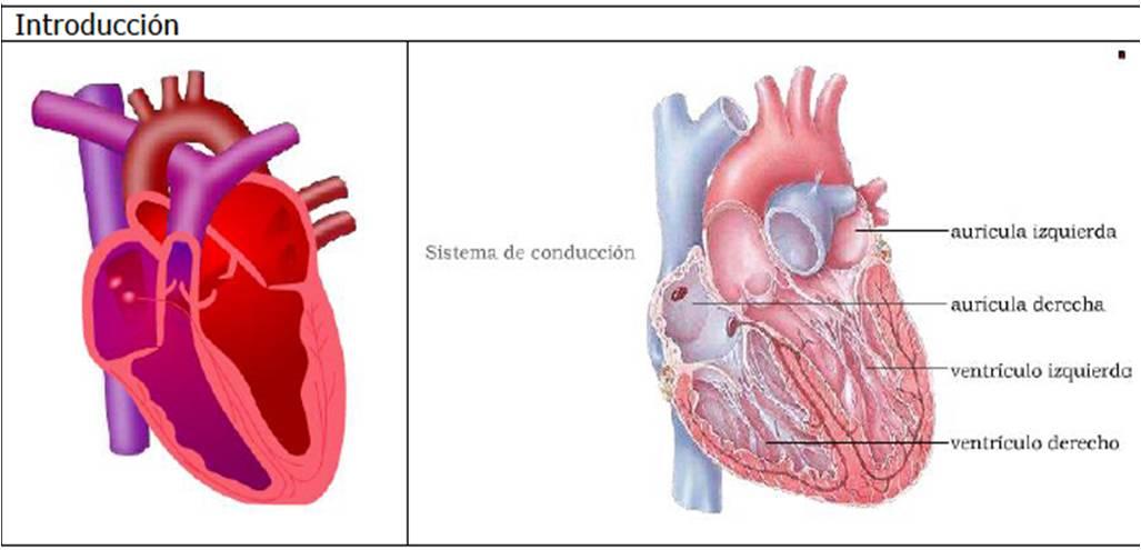 Anatomia del corazón: Anatomia del corazón