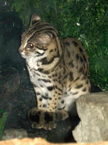 Has asian cat leopard geile Löcher