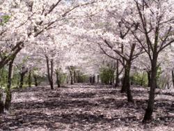 http://1.bp.blogspot.com/_ljUgdsSyuN0/S-kpccFQYoI/AAAAAAAAA3Q/zRRFB0ySBzg/s1600/sakura.png