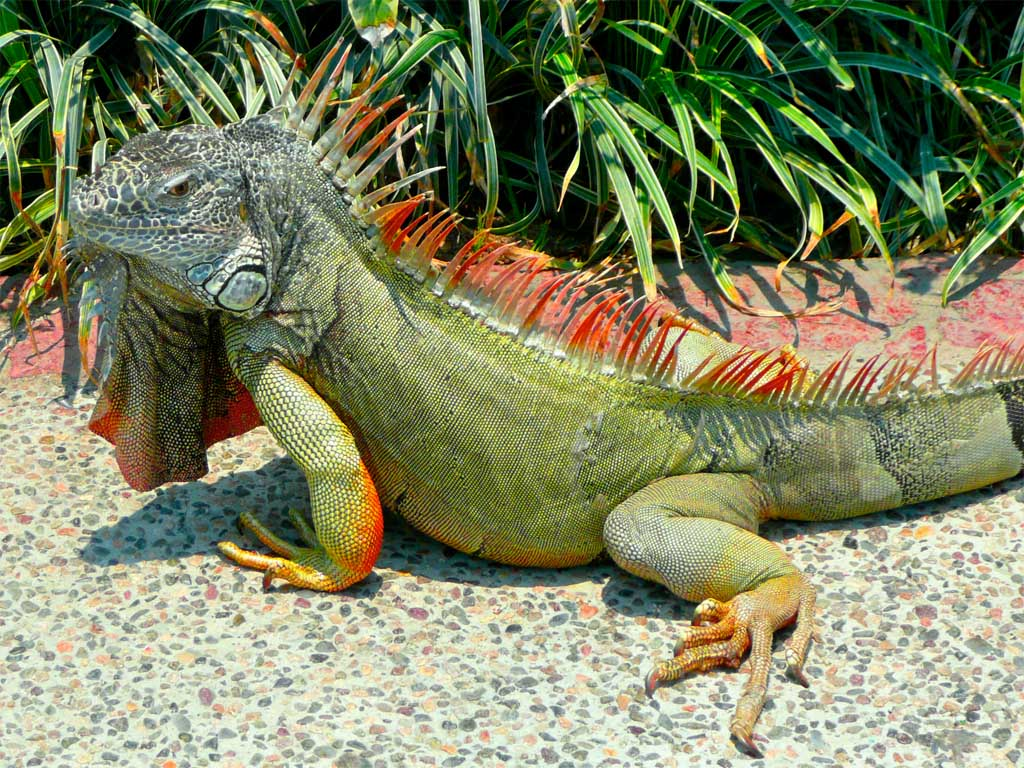Hewan Purba2016 Iguana Peru Images