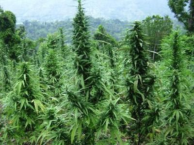 Un composant de la marijuana actif contre les tumeurs du cerveau