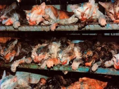 """La experimantación animal, un """"Daño colateral"""" Gatos"""