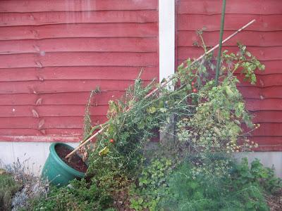 fallen tomato plant