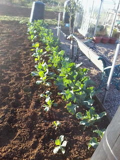 weed free brassica bed