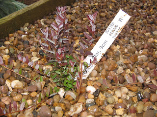 cranberru bush