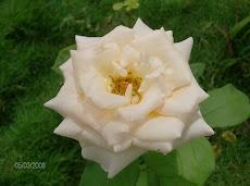 una rosa de mi jardín...