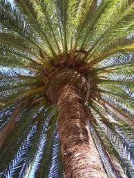 Palmera Canaria