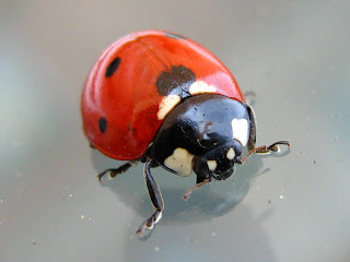 ugur bocegi-ladybug