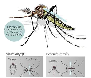 Resultado de imagen para mosquito comun