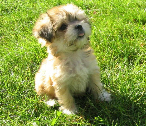 small fluffy dog breeds ForFluffy Little Dog Breeds