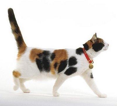 4TheWARNET: Sejarah Kucing Belang TIGA