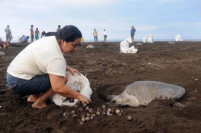 Κλέβουν αυγά χελώνας στην Κόστα Ρίκα