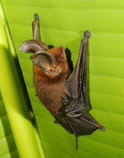 Sucker-footed Bat