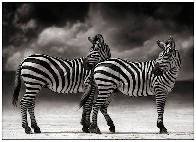 Two zebras turning their head