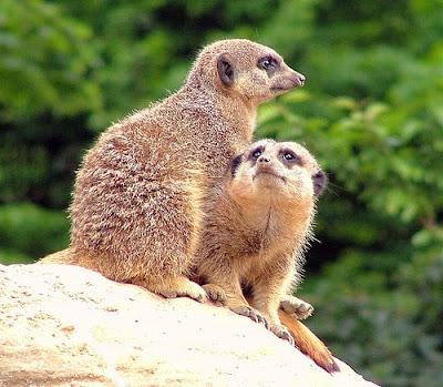 two Meerkat in London Zoo