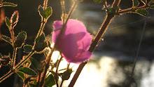 Flor das águas