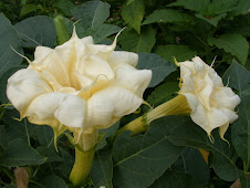 Datura at Zilker...