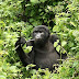 Endangered Mountain Gorillas Population Increases