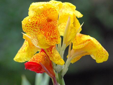 sebagai tanaman hias. Terdapat berbagai jenis macam bunga kana di