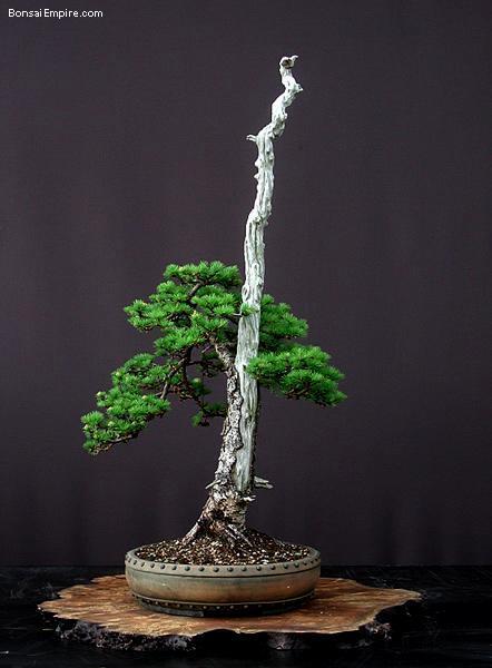 for Literati bonsai gallery