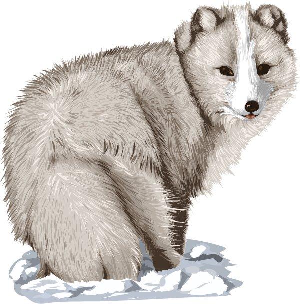 Arctic Fox Clip Art Vector art. vector art