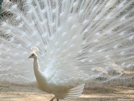 koleksi foto burung merak @ Digaleri.com