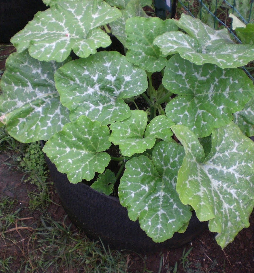 a kitchen garden in kihei maui growing winter squash in kihei