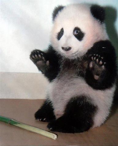 http://1.bp.blogspot.com/_m0O2XlVi3Mc/TCRpO1cHmgI/AAAAAAAACYs/6xmC0fOAV7w/s1600/panda.jpg