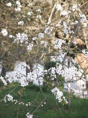 [white+blossom.jpg]