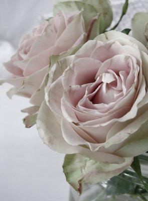 [pale+pink+rose.jpg]