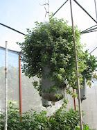 Mangas con hierbas en Corazón Verde