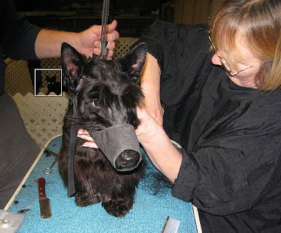 Scottish Terrier gets groomed